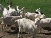 Les chèvres de Burdignes
